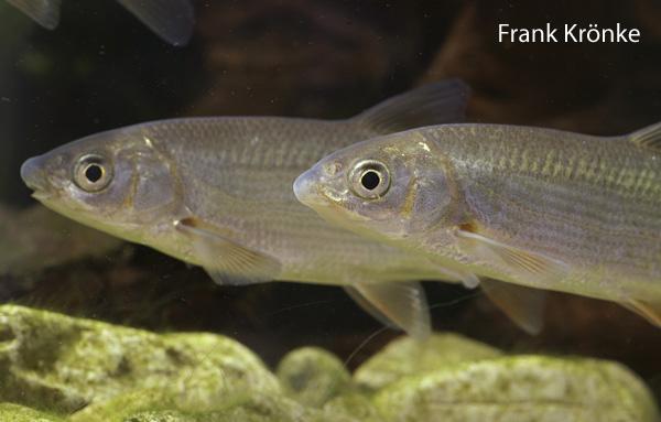 Nase chondrostoma nasus arbeitskreis kaltwasserfische for Teichfische algenfresser